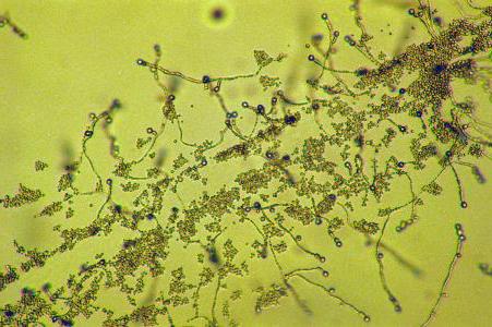 Кандидоз кишечника масло чайного дерева